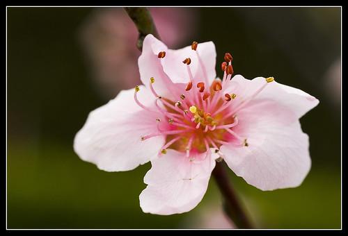 Peach Flower (by dottor.ponzio)