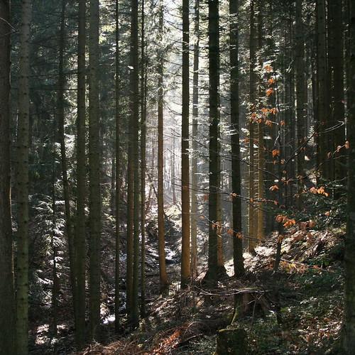 Forest in Korbielów
