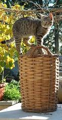 Min in postazione di vedetta (Ibleo) Tags: kittens gatto gatti sicilia ragusa ibleo kissablekat elgiulio