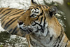 Cooling off - 2 (dickysingh) Tags: india outdoor tiger bigcat aditya predator ranthambore singh bengaltiger ranthambhore dicky wildtiger stalkingtiger adityasingh ranthamborebagh theranthambhorebagh projecttigerreserve wwwranthambhorecom