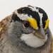 White-throated Sparrow (Zonotrichia albicollis) - Ol' Sam Peabody