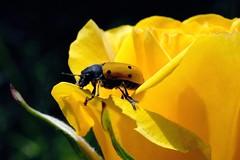 Nervi Rose-Garden -