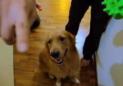 Golden Retriever Not Camera-trained