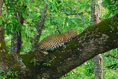 leopard update - spotted in wild