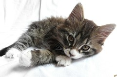 Brown tabby (B@rbar@ (Barbara Palmisano)) Tags: pet brown white animal cat tabby gato siberian onwhite gatto bianco animale marrone sobeautiful siberiano tigrato mywinners