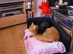 Cats 006 (gillespiethecarparkkitten) Tags: 2008 gillespie ophelia