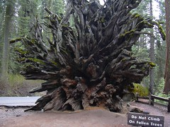 Fallen Monarch, Mariposa Grove, Yosemite