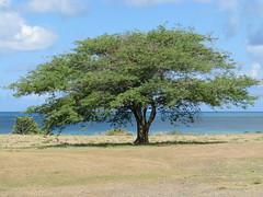 """""""Cassi"""" or Acacia tree (Antigua) (nigelpilgrim) Tags: tree antigua caribbean nigel acacia antiguaandbarbuda nigelpilgrim cassitree"""