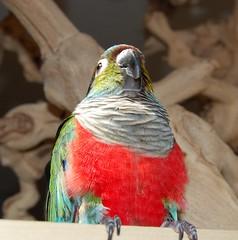 (cabay) Tags: red bird crimson parrot exotic parrots conure bellied pyrrhura crimsonbellied