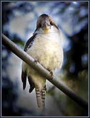 I see you too!!! (Tony Steinberg Photography) Tags: bird nature birds closeup wildlife australia brisbane kingfisher qld queensland kookaburra aust laughingkookaburra avianexcellence