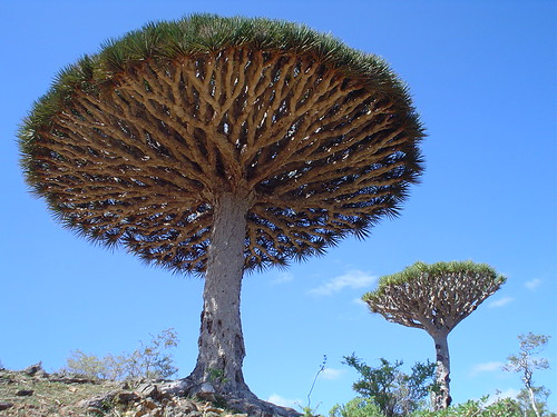A Dragon's Blood Tree | Flickr - Photo Sharing!