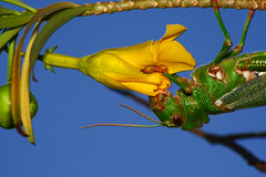 Flower Power (Ian Lambert) Tags: blue sky flower tree green insect wings cricket margarita locust naturesfinest mywinners platinumphoto magicofaworldinmacro platinumheartaward macromarvels beautifulmonsters