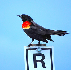 R Is For Red... (NateFischPix) Tags: red black color bird nature birds animal animals sign wildlife country wing iowa perched iowacity blackbird redwing smörgåsbord redwingblackbird natefish3000 natefisch