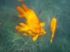 Garibaldi (LoveOurEarth) Tags: ocean sea orange fish water animal pacific cove dive lajolla snorkeling aquatic garibaldi swiming eelgrass