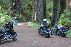 Redwoods on the Cal-Barrel Road