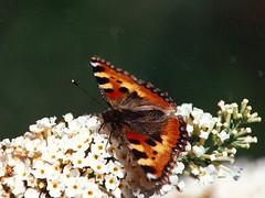Nældens takvinge (Steenjep) Tags: nature butterfly garden tamron aglaisurticae smalltortoiseshell 70210 nældenstakvinge tamronsp incets goldenheartaward aglaisúrticae tamronadaptall270210mmf354