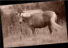 Sephia Horse (DentTech) Tags: summer horse kodak pony sephia feild beginnerdigitalphotographychallengeswinner beginnerdigitalphotographychallengewinner denttech