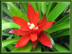 Guzmania lingulata var. minor in our garden, shot June 2008