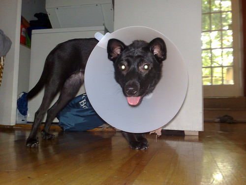 Reny with her Elizabethan collar