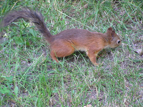 Orava nurmella