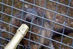 Do not feed the animals (timtom.ch) Tags: switzerland bottle champagne cage marmot montreux evg stagparty rochersdenaye donotfeedtheanimals