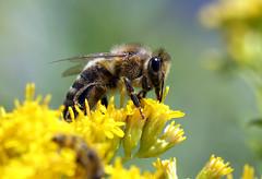 Busy bee (PaPe01) Tags: flowers summer macro animals closeup tiere sommer bee honey biene honig diamondclassphotographer flickrdiamond photofaceoffwinner pfogold damniwishidtakenthat