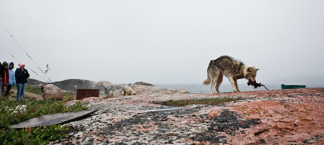 Sled dogs in Hopedale, Nunatsiavut