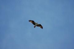 Osprey (Arizona Ashman 88) Tags: osprey pandionhaliaetus fishhawk seahawk kitsapcounty