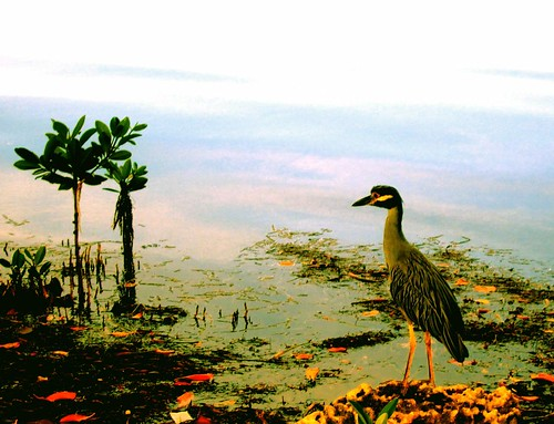 Heron in the Mangroves