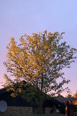 CRW_1689-Solnedgang-paa-et-trae (ordo.dk) Tags: sunset tree tr solnedgang