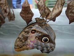 uilvlinder met poppen (Gertie Jaquet) Tags: owlbutterfly artis uilvlinder