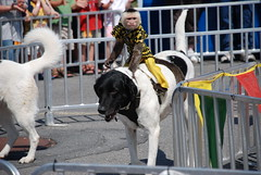 Banana Derby (Joe Shlabotnik) Tags: dog newyork monkey statefair jockey 2008 faved explored august2008 heylookatthis