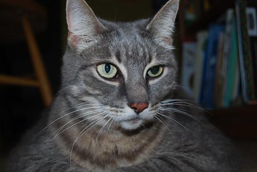 Anisocoria nei gatti tutto zampe - Husky occhi diversi ...