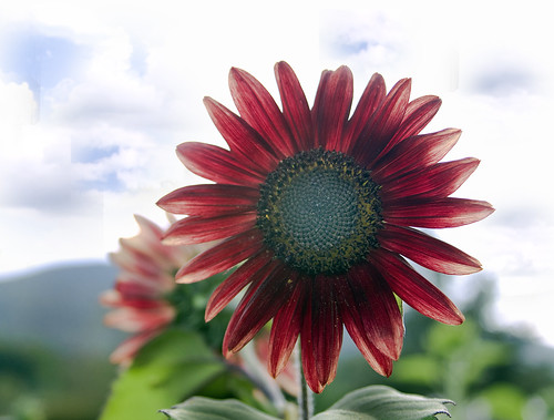 Burgundy Sunflower  by you.