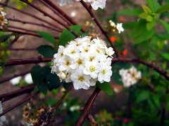 (Lasa Roberta Trojaike) Tags: white flower nature branco death leaf live natureza small flor blumen natura morte vida folha weiss pequeno mimamorflowers auniverseofflowers