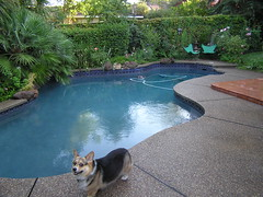 P8130019 (etgeek (Eric)) Tags: dog woof pool pembroke riley corgi bark cattledog welshcorgi k9 akc herding caamoraorileywildwind damcaamorakittyhawk sireanwylwindsochangech 9682742