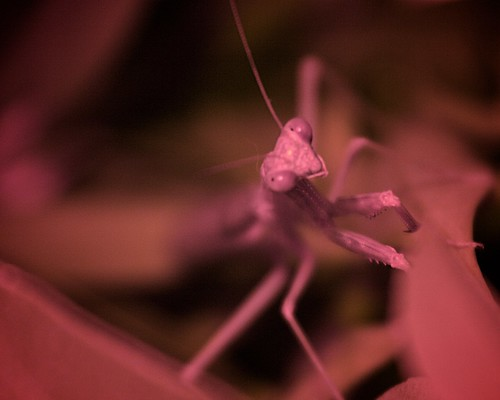 Praying Mantis, Red Gel Modeling Light