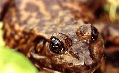 bullfrog1