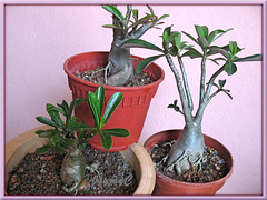 3 unknown dwarf hybrids of Adenium obesum (Desert Rose) in our garden, October 2008