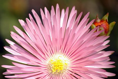 Printemps in Pink II (tomraven) Tags: flowers spring newzeland otaki multimegashot tomraven