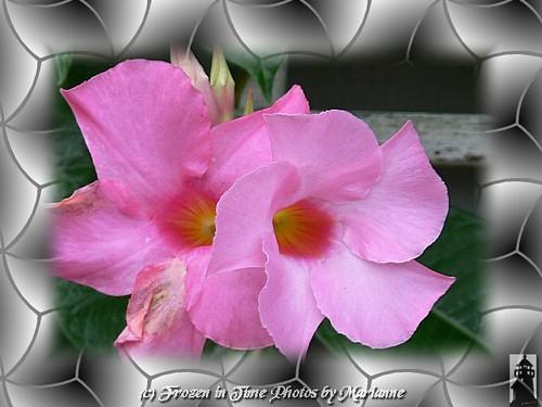 Roze magija - Page 2 2931518387_0a2ce22c28