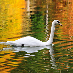 Swan in a golden Lake (Habub3) Tags: lake nature animal fauna reflections golden see photo swan nikon schwan tier reflexionen d300 herbstfarben goldenlake viewonblack holidaysvacanzeurlaub vanagram habub3