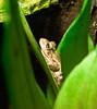 Treefrog (stwade) Tags: green florida wildlife seaworld treefrog depthoffocus nikond60 1855mmf3556gvr