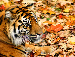 Sumatran Tiger on Maple Leaves (Jay:Dee) Tags: autumn fall colors leaves colours grandmother tiger hero winner sumatran torontozoo bigmomma pantheratigrissumatrae pfogold thechallengefactory flickrbigcats motmjan09 motmapr09 motmjun09 motmoct09