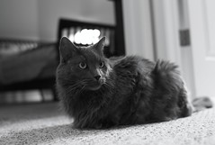 chat de race Nebelung