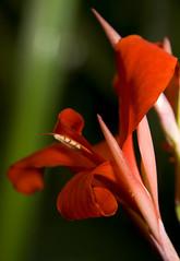 Red Gladioli (Theresa Elvin) Tags: red flower macro sheffield gladioli tropicalbutterflyhouse northanston