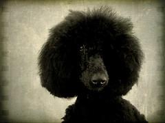 z u s u ~ k u n (saikiishiki) Tags: dog chien black cute eye thanks by hair nose interestingness soft fuzzy sweet afro hound fluffy hond x perro explore textures hund poodle much standard seen inu omoshiroi frizzy thelittledoglaughed pareeerica jaiel zusu essenceofadream