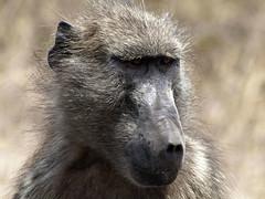 Baboon (Pimlico Tommo) Tags: hairy face animal southafrica safari baboon krugerpark kruger sabisabi babyon baboonface