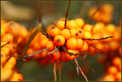 orange today....... (atsjebosma) Tags: november autumn orange macro fruit coast healthy berries bokeh dunes nederland thenetherlands 2008 duinen oranje lauwersmeer kust besjes naturesfinest seabuckthorn duindoorn mywinners platinumphoto groninen anawesomeshot natureselegantshots
