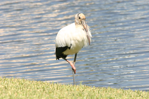 Wood Stork Resting Right Leg 20081122